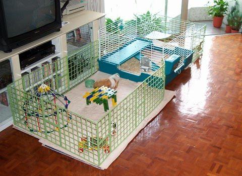 Guinea Pig Floor Time